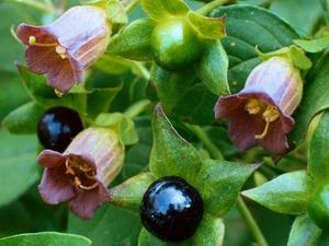 Красавка (белладонна): цветочный гороскоп