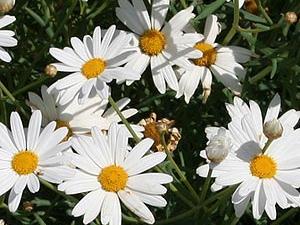 Ромашка: цветочный гороскоп