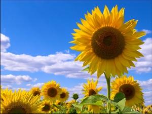 Подсолнух: цветочный гороскоп