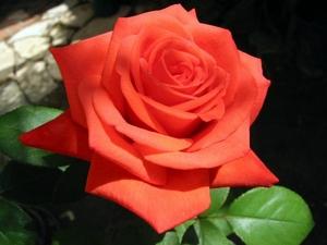 Роза: цветочный гороскоп