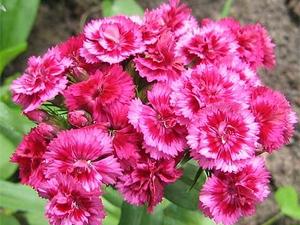 Гвоздика: цветочный гороскоп