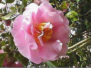 Камелия: цветочный гороскоп