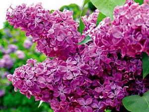 Сирень: цветочный гороскоп