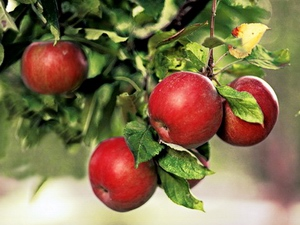 Apple: celtic tree (druids') solar horoscope