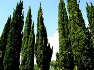 Cypress: celtic tree (druids') solar horoscope