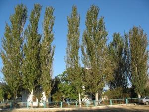 Тополь: солнечный гороскоп друидов