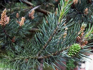 Pine: celtic tree (druids') solar horoscope