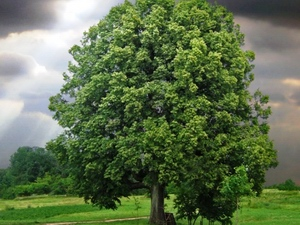 Linden: celtic tree (druids') solar horoscope
