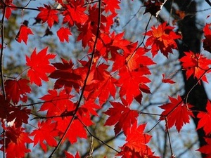 Maple: celtic tree (druids') solar horoscope