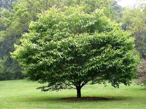 Hornbeam: celtic tree (druids') solar horoscope