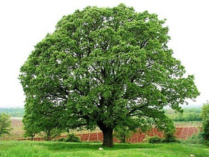 Oak: celtic tree (druids') solar horoscope