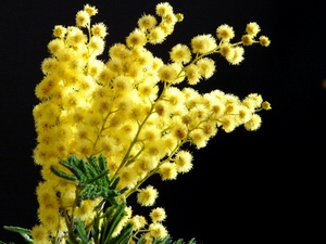 Mimosa: flower horoscope