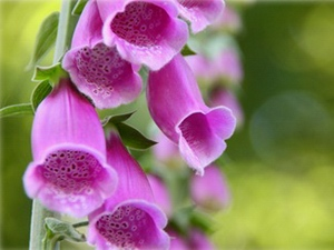 Digitalis: flower horoscope