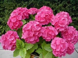 Hydrangea: flower horoscope