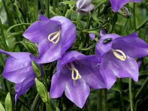 Campanula: flower horoscope