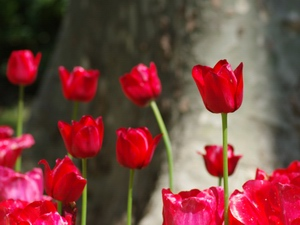 Tulip: flower horoscope