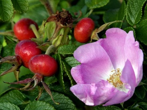 Шиповник: цветочный гороскоп
