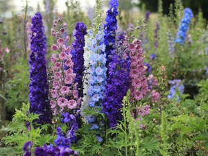 Delphinium: flower horoscope