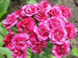 Carnation: flower horoscope