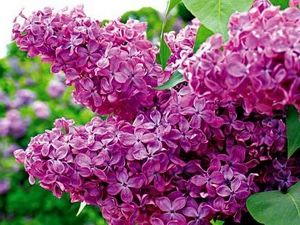 Lilac: flower horoscope