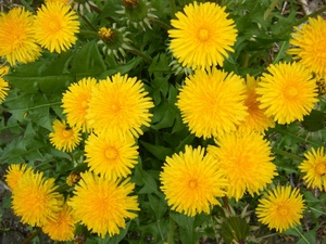 Taraxacum: flower horoscope