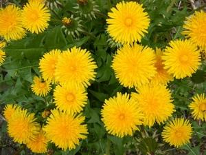 Одуванчик: цветочный гороскоп