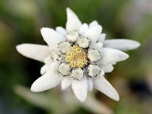 Edelweiss: flower horoscope