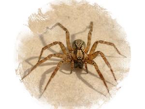 Spider: zoroastrian horoscope